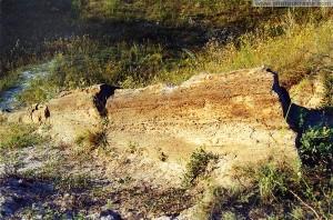Окаменевшее дерево в Алексеево-Дружковке