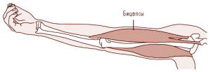 Выпрямление: сжатие – трицепсы, растяжение – бицепсы