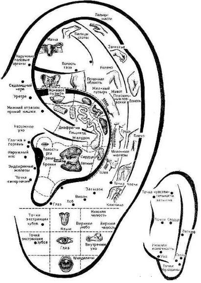 Расположение некоторых выходов энергетических меридианов: ухо